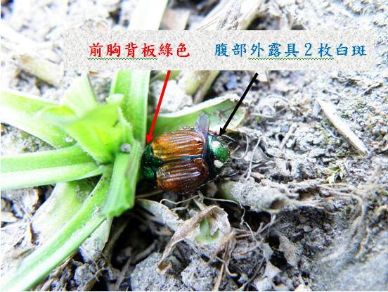 27-02台灣豆金龜.bmp