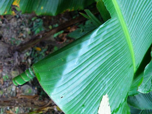 15-01香蕉弄蝶.JPG