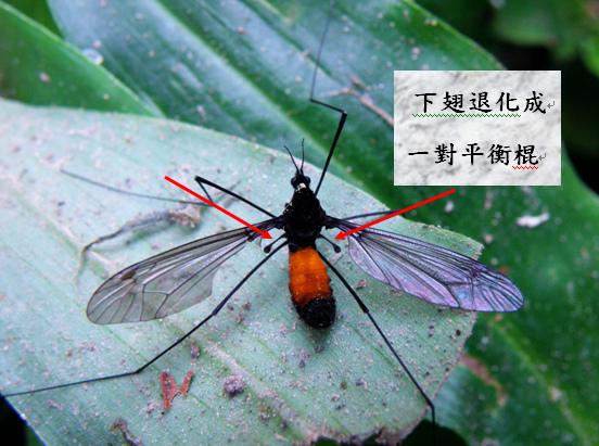 17-02螺祖型大蚊.bmp