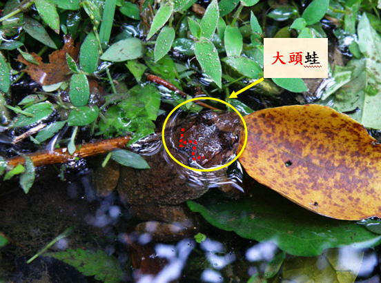 20-02古氏赤蛙.bmp