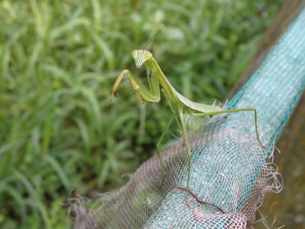01-09螳螂.JPG