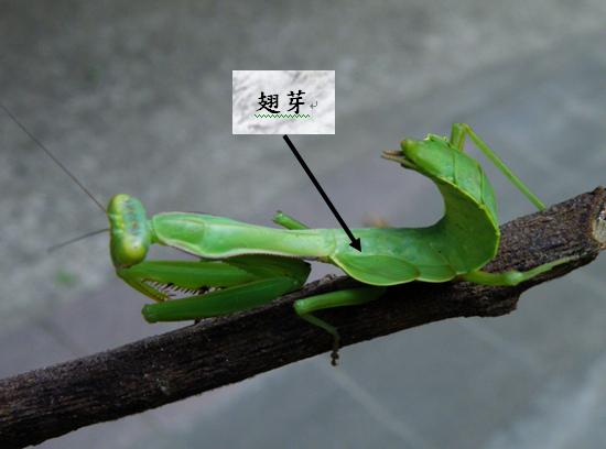 01-12大螳螂翅芽.bmp