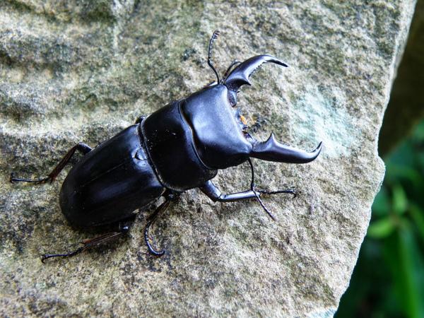 16-01扁鍬形蟲.JPG