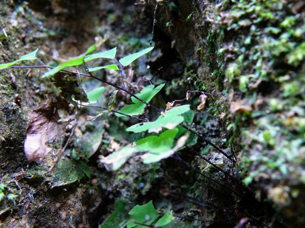 01-03枯乾的地錢旁邊的鐵線蕨.JPG