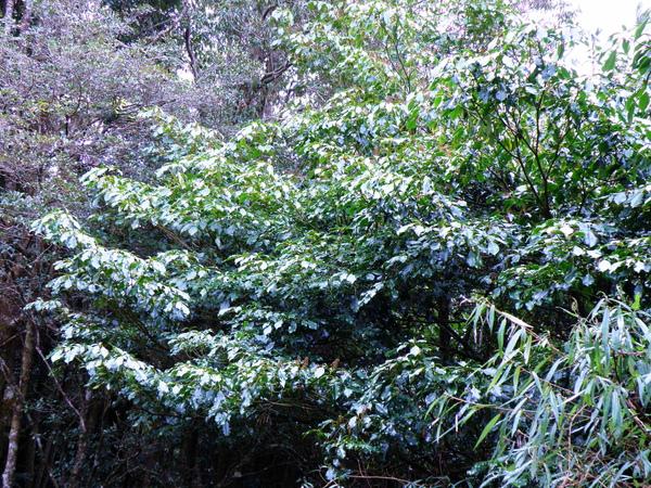 07-04昆欄樹.JPG