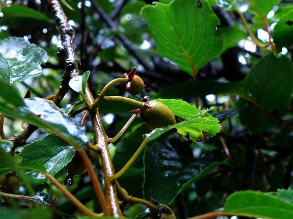 08-02硬齒獼猴桃.JPG