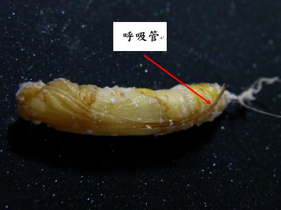 20-02香蕉弄蝶呼吸管0524.bmp