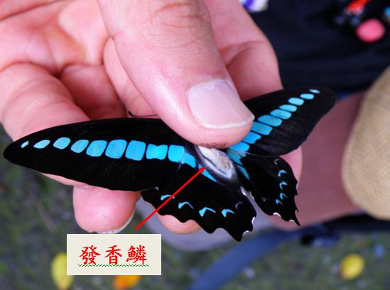 21-02公的青帶鳳蝶.bmp