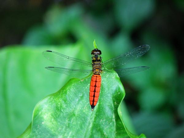 13-01廣腹蜻蜓 雄蟲.JPG