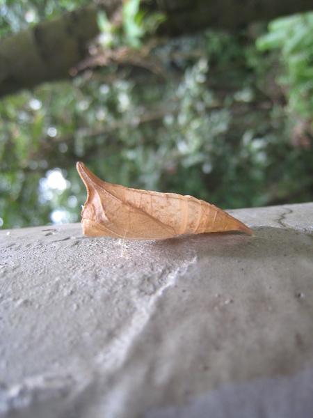 09-03青帶鳳蝶蛹 和蛾之幼蟲神似.JPG