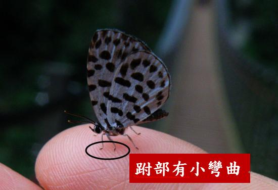 母的棋石小灰蝶.bmp