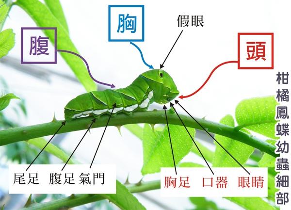 01-34柑橘鳳蝶幼蟲細部.jpg