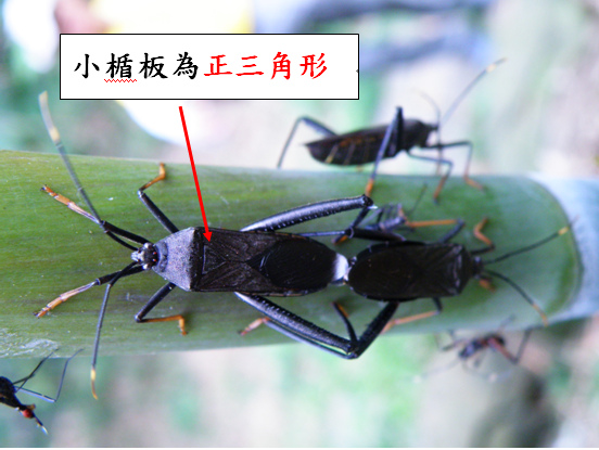 12-02黑竹緣椿象 .bmp
