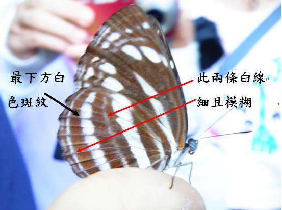 04-03台灣三線蝶.bmp