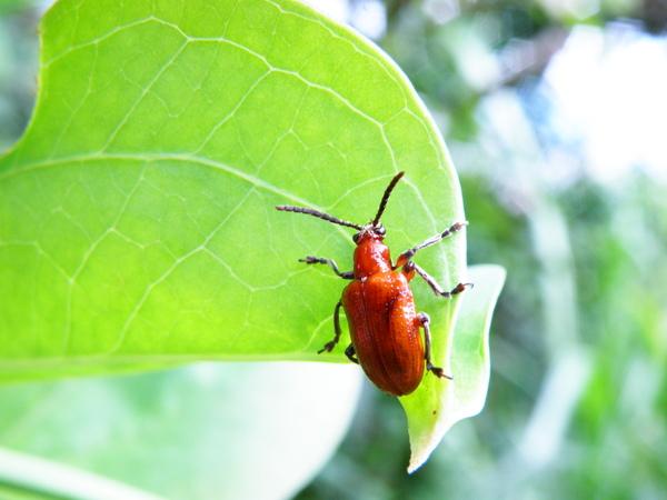 08-04菝葜長頸金花蟲.JPG