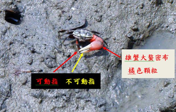 02-01弧邊招潮蟹 (2).bmp
