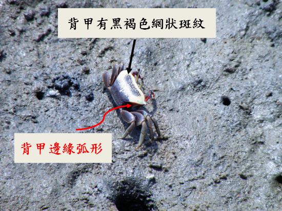 02-01弧邊招潮蟹 (3).bmp