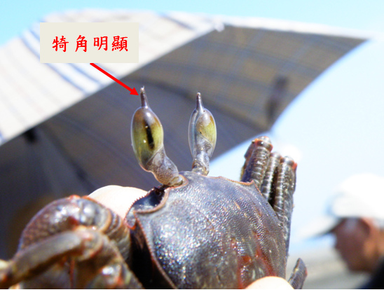 07-02角眼沙蟹.bmp