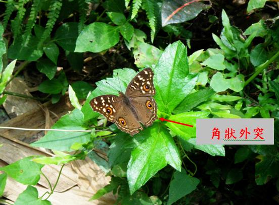 02-01 眼紋擬蛺蝶~公的 (3).bmp
