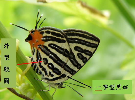 04-03三星雙尾燕蝶.bmp
