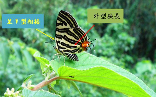 04-04台灣雙尾燕蝶.bmp
