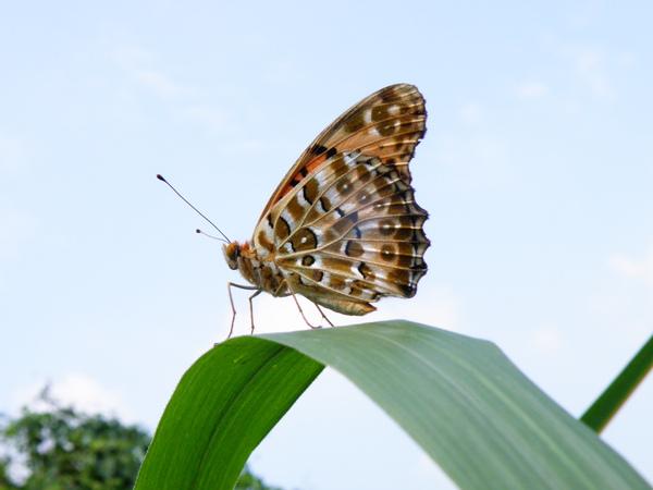 10-01黑端豹斑蝶.JPG