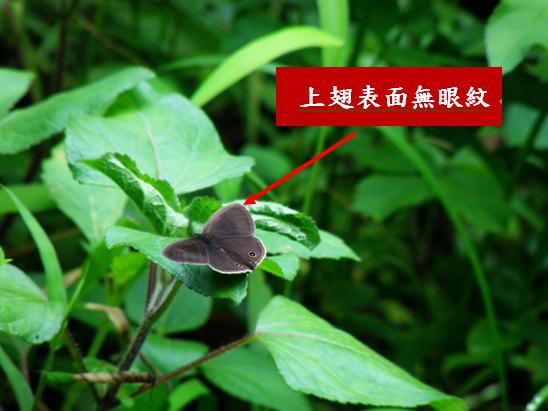 24-01台灣波紋蛇目蝶表面.bmp