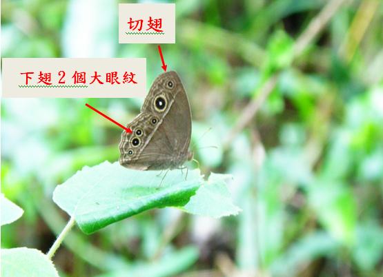 25-01切翅單環蝶.bmp