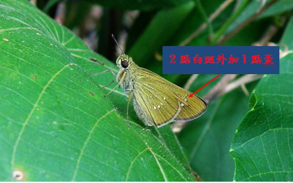 08-01台灣單帶弄蝶.bmp
