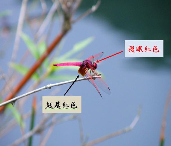 06-01紫紅蜻蜓~公.bmp