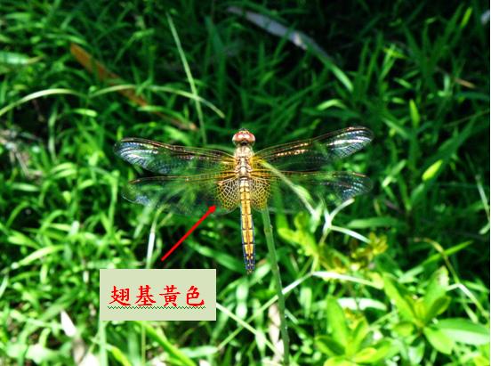 06-04紫紅蜻蜓~母 .bmp
