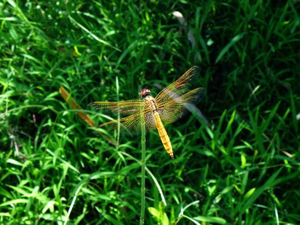 06-05紫紅蜻蜓未熟雄蟲.JPG