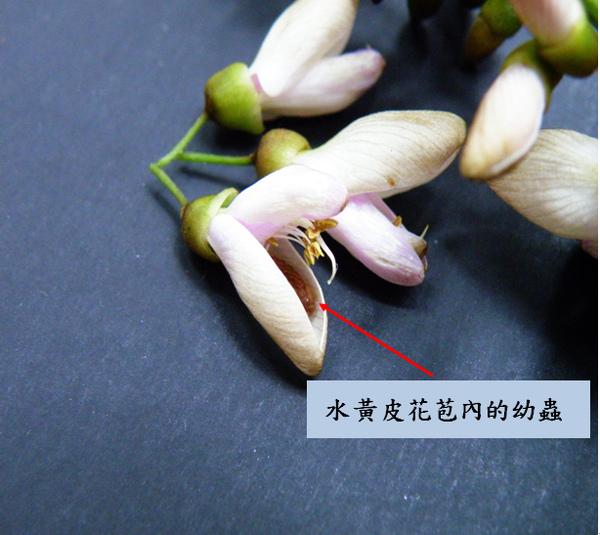 01-01 琉璃波紋小灰蝶幼蟲.bmp