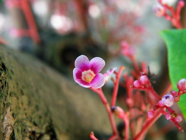 05-02楊桃~酢漿草科.JPG