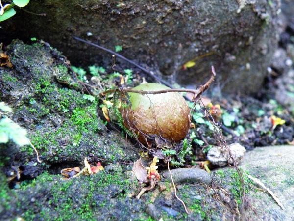 06-02腎蕨鐵雞蛋儲水莖.JPG