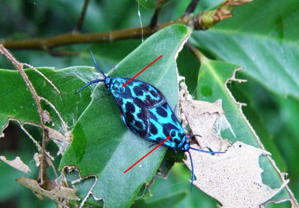 20-02蓬萊藍紋斑蛾.bmp