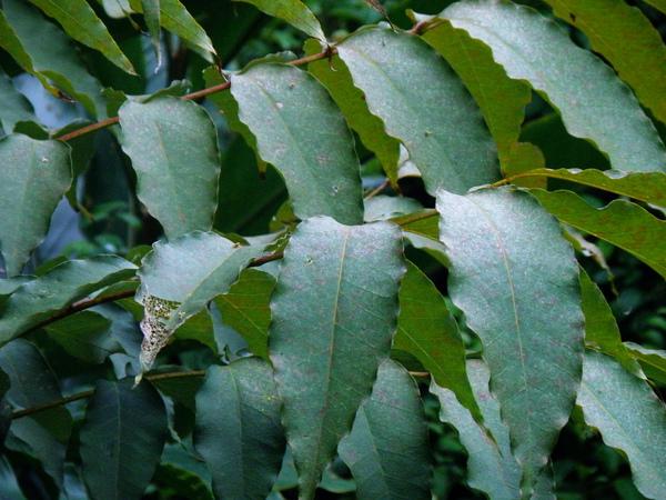 37-02鐘萼木.JPG