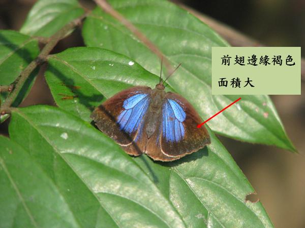 05-07母紫小灰蝶.bmp