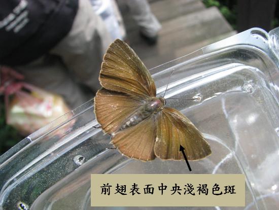 06-04母的恆春小灰蝶.bmp