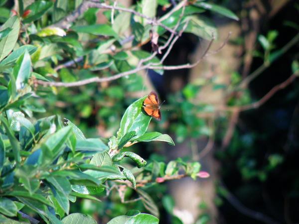 06-05恆春小灰蝶~公的~看夕陽.JPG