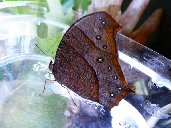 01-12低溫型黑樹蔭蝶.JPG