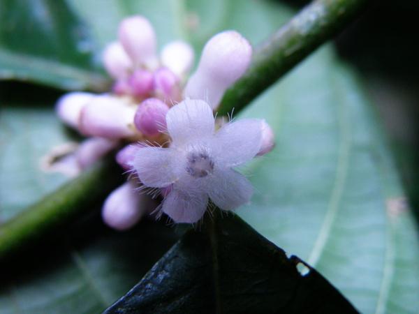06-03琉球雞屎樹.JPG