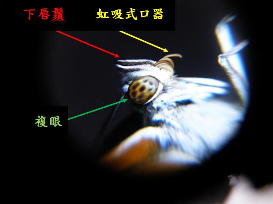 08-03白圈三線蝶頭部解說 - 複製.bmp
