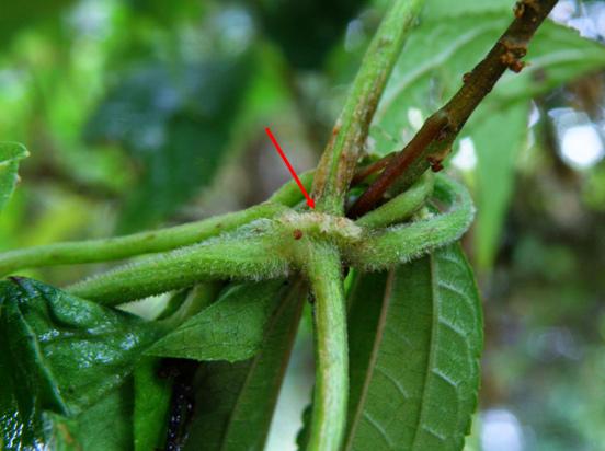 15-02蔓澤蘭~節尖突起毛茸茸空橋狀小花蔓澤蘭則是鬚狀.bmp