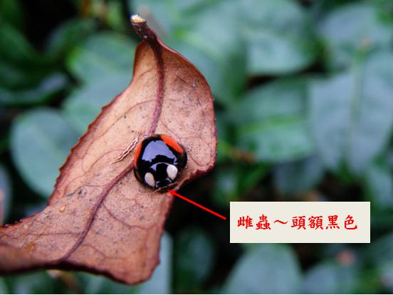 17-02赤星瓢蟲 .bmp