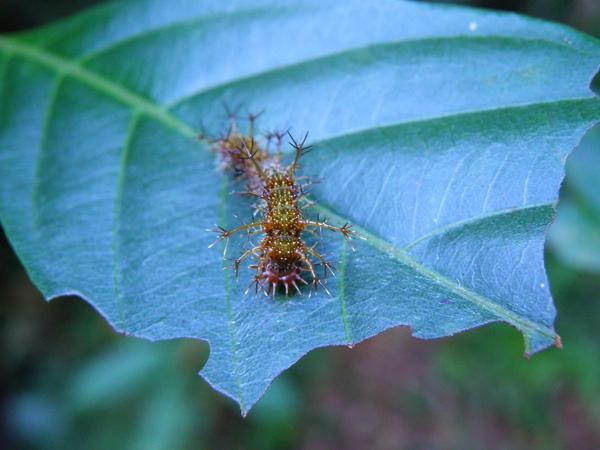 25-02終齡初期幼蟲淺褐色.JPG