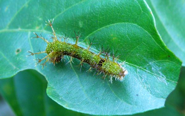 25-03單帶蛺蝶 終齡後期幼蟲綠色~一黑斑.bmp