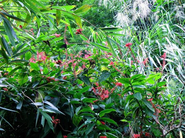 04-04紅樓花~爵床科.JPG