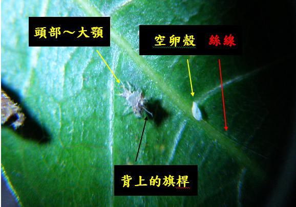 07-03草蛉幼蟲~蚜獅1128 .bmp