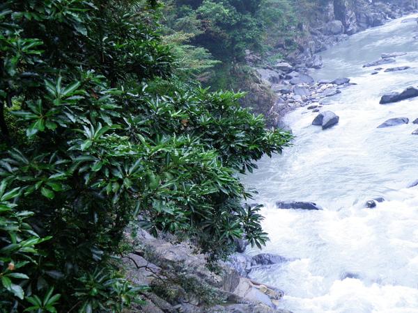 25-01大葉楠~溪谷植物.JPG
